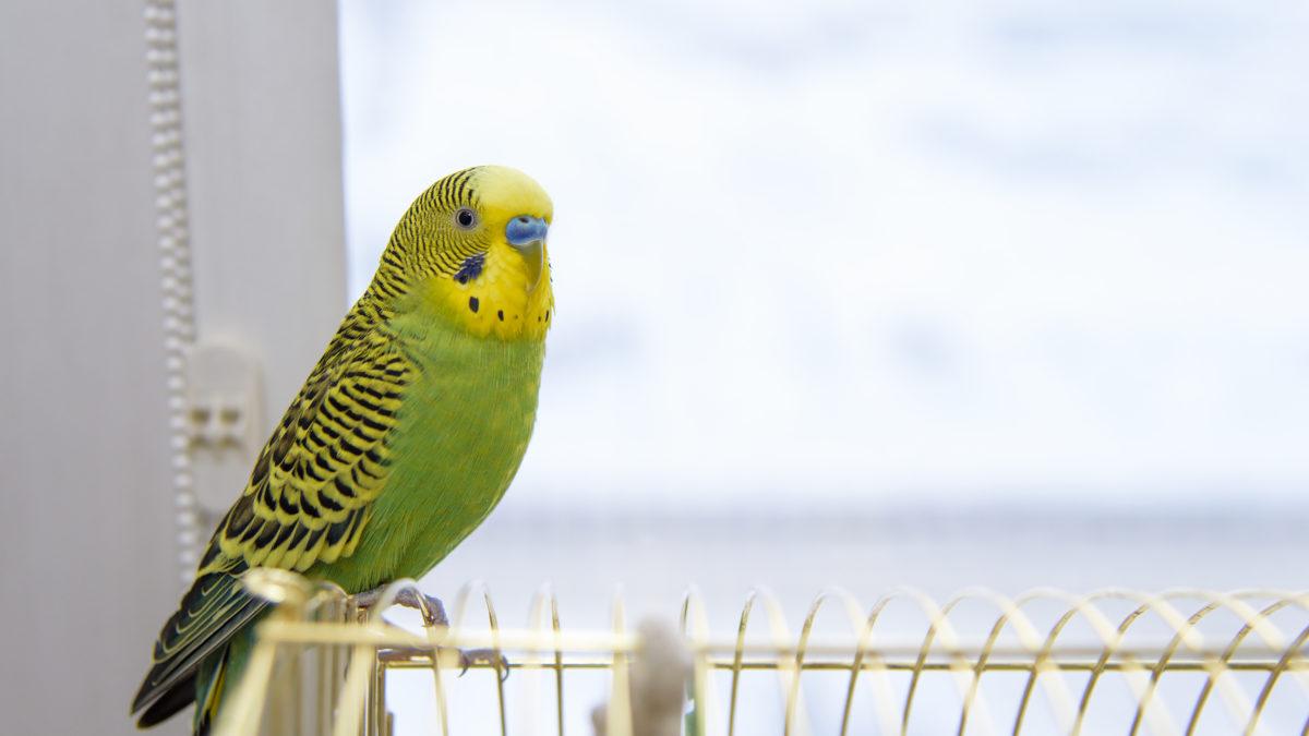 پرنده خانگی   نوین پت شاپ