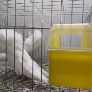 دانخوری کبوتر | نوین پت شاپ