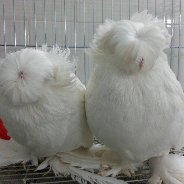 کبوتر نر و ماده بخارا سفید   نوین پت شاپ