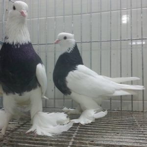 کبوتر نر و ماده طوقی | نوین پت شاپ