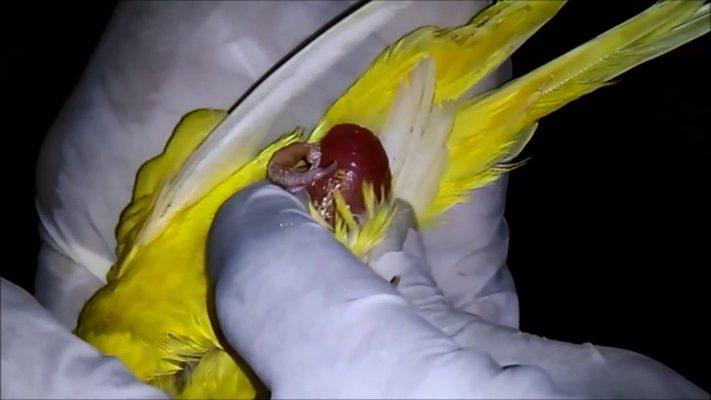 گیر کردن تخم پرنده | نوین پت شاپ