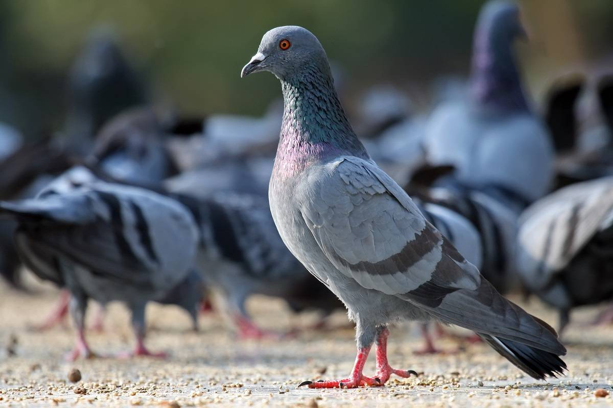 کبوترهای اصیل ایرانی | نوین پت شاپ