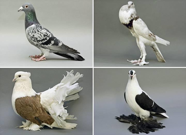 کبوتران خانگی | نوین پت شاپ