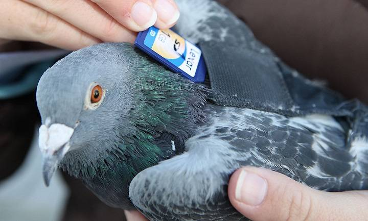 کبوتران نامه بر | نوین پت شاپ