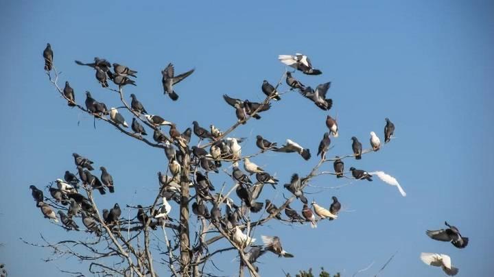 کبوتران وحشی | نوین پت شاپ