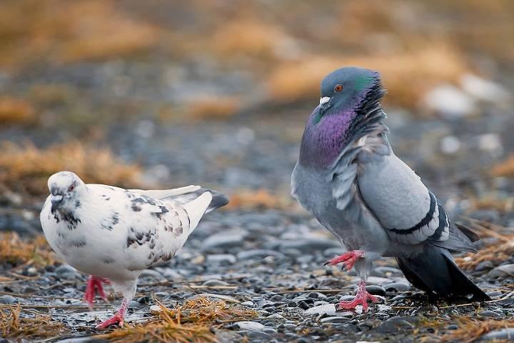 دسته بندی کبوتران | نوین کبوتر