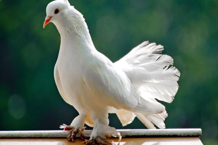کبوتر | نوین پت شاپ