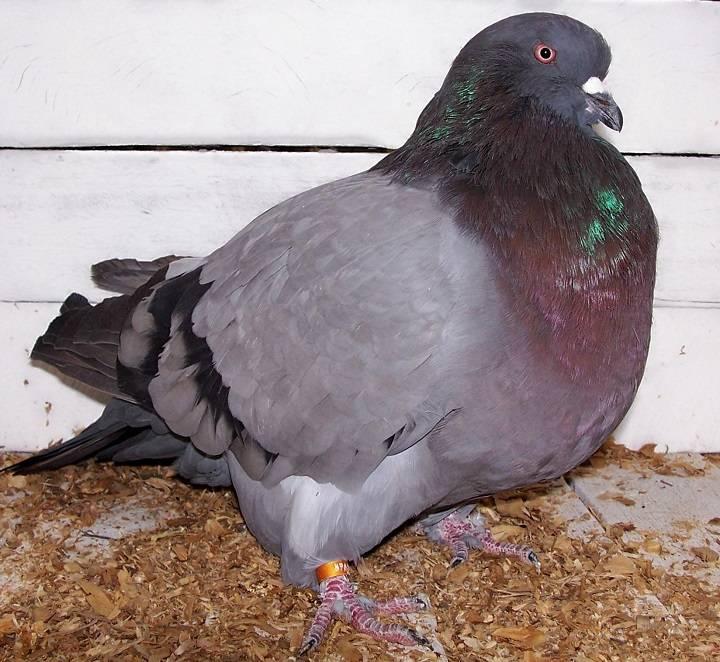 کبوتر گاینت هومر | نوین پت شاپ