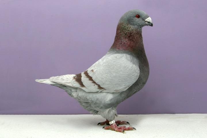کبوتر گاینت هومر   نوین پت شاپ