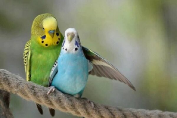 مرغ عشق | نوین پت شاپ
