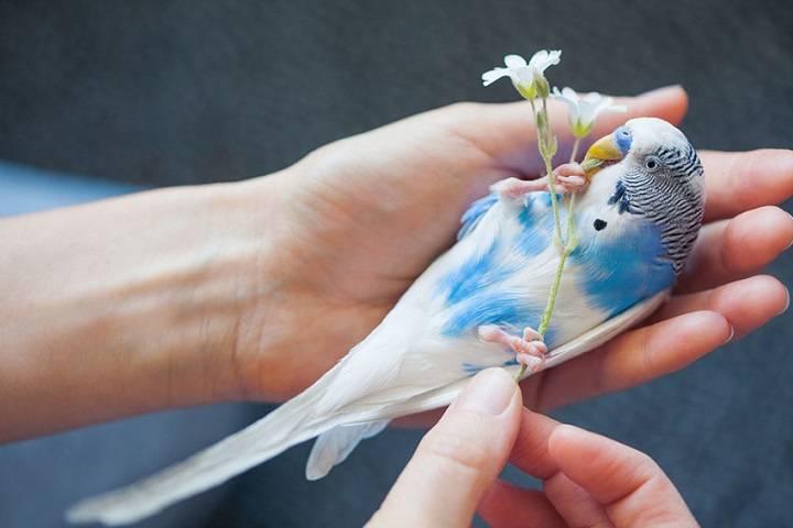 مرغ عشق دستی | نوین پت شاپ